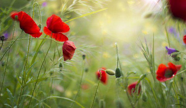 Обои на рабочий стол: красные, лето, маки, поле, трава, цветы