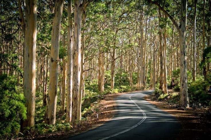 Australia's profile photo Australia Fact: Boranup Karri Forest in Margaret River is home to the stunning tall pale-barked karri trees that can reach 60 metres or more in height. (Photo: The Margaret River Discovery Co - Wine & Adventure Tours)