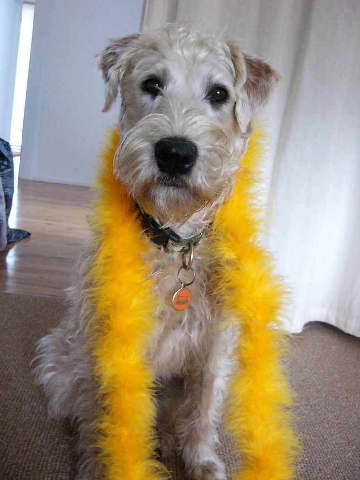 the traditional soft coated wheaten terrier haircut dog 739 best images about dogs on pinterest irish pictures