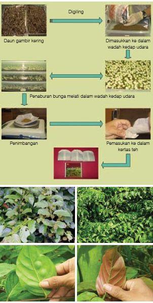 Proses pembuatan teh daun gambir
