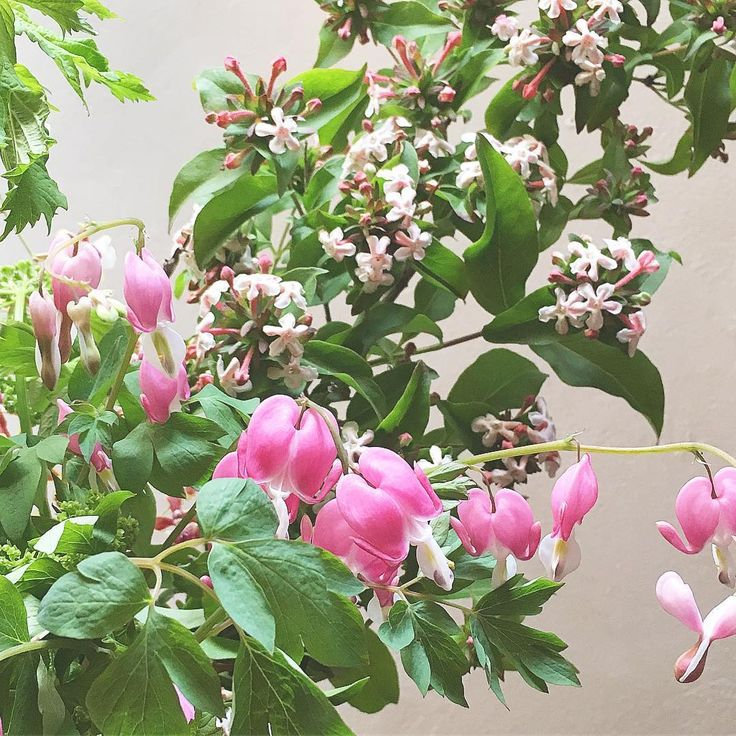 20175.19 おはようございます。 ・ 今日の「おめざばな」は アベリアとタイツリソウ。 ・ 爽やかなおはなたちが 初夏を彩る季節です。 ・ ・ →@kurufleur展開中��✨ ・ ・ ・ #flower #flowers #flowerslovers #flowerstagram #フラワー #kurufleur #花 #植物 #kurumoto_teruyo_hk #hibiyakadan #hibiyakadan_otd #日比谷花壇 #花のある暮らし #植物のある暮らし  #花好きな人と繋がりたい #着物 #キモノ#きもの #ボタニカル #タイツリソウ #ケマンソウ #アベリア http://gelinshop.com/ipost/1517767187925176492/?code=BUQMTdIBhCs
