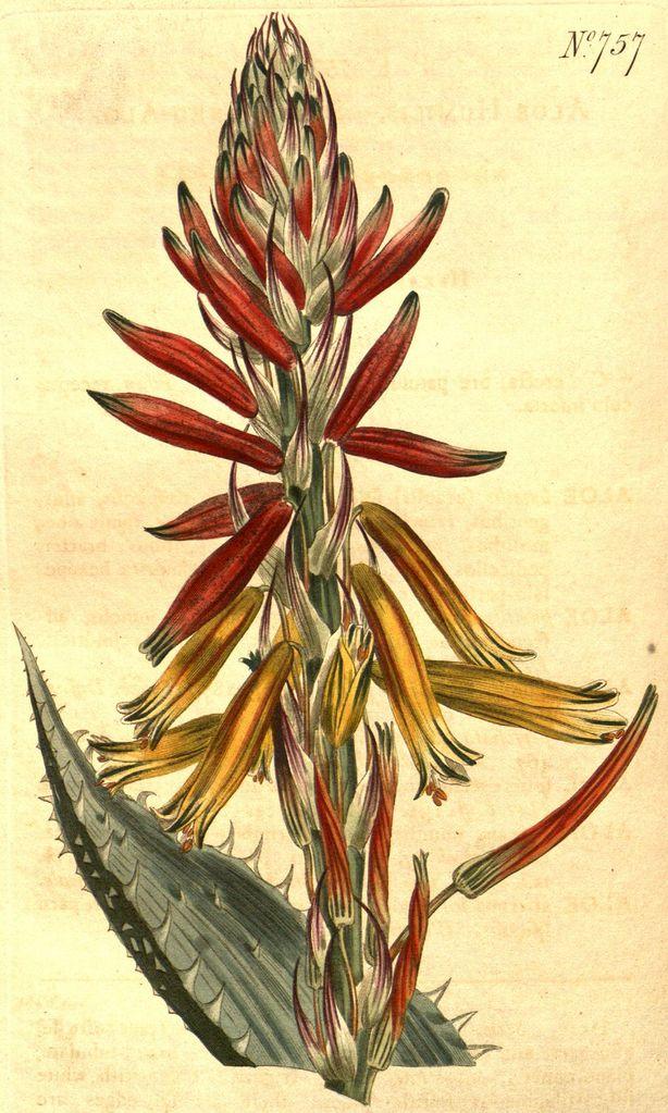 Aloe humilis - circa 1804