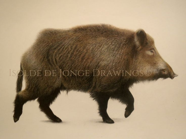 """Villsvin"" (Wild Boar). pencil and colour pencil on paper. 2015."