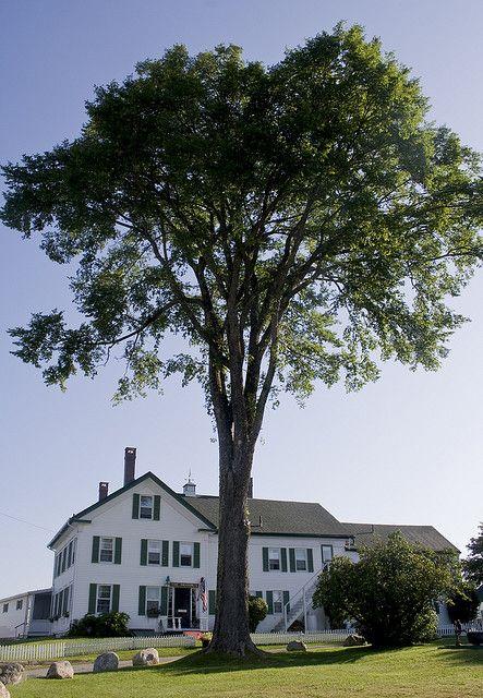 Magnificent Elm Tree Guards Moorings Inn | Flickr - Photo Sharing!