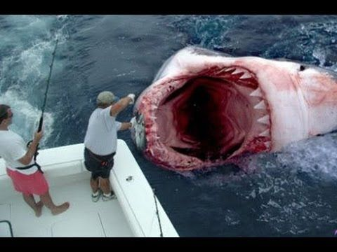 Great White Shark Necropsy Full Documentary YouTube