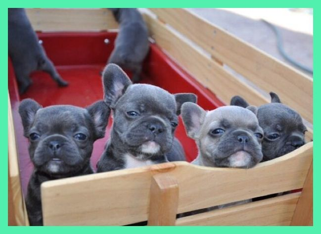 Quality Blue French Bulldog Puppies Kc Registered Rotherham