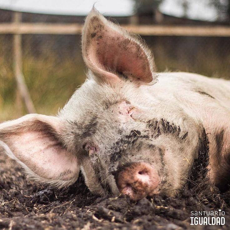 Qué sueña Luciano?  Los cerdos son animales muy sofisticados. No corren mucho ni saltan por el aire ni persiguen cosas como los perros y gatos. En cambio sus sentidos y habilidades están altamente especializados en olfatear cosas incluso bajo tierra y en la capacidad en escarbar para encontrarlas. Por eso uno de sus movimientos más importantes es el de levantar cosas con la nariz.  Por eso del mismo modo que los perros y gatos juegan a cazar los cerdos juegan a hozar haciendo fuertes y…