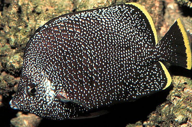 wrought iron butterflyfish