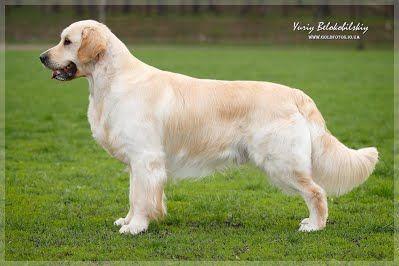 GOLD KISS LADY LUCK MAXIMUM (Макс) male/кобель - Gold Kiss Lady Luck питомник щенки золотистого ретривера
