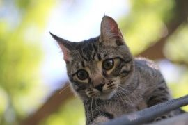 gatinho, cinzento, curiosidade, procurando