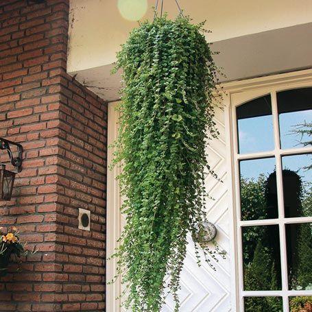 9 besten h ngepflanzen bilder auf pinterest verandas garten pflanzen und h ngepflanzen. Black Bedroom Furniture Sets. Home Design Ideas