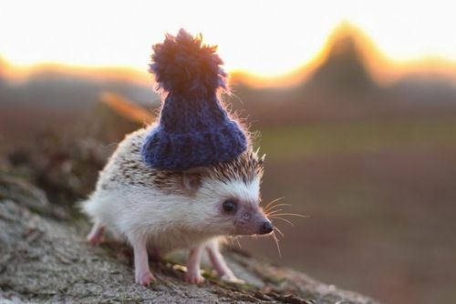 While some hedgehog species can successfully hibernate, hibernation for the African pygmy hedgehog means death. Hedgehogs will attempt hibernation if not ...