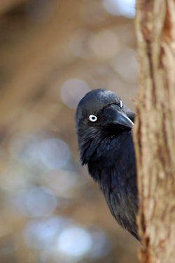 The Little Crow (Corvus bennetti) is an Australian species of crow, by roylesafaris on Flickr.