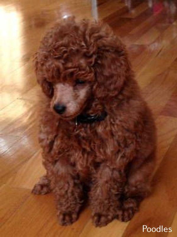 Discover Poodle Puppy Clip Poodle Puppy Poodle Puppy Clip Poodle