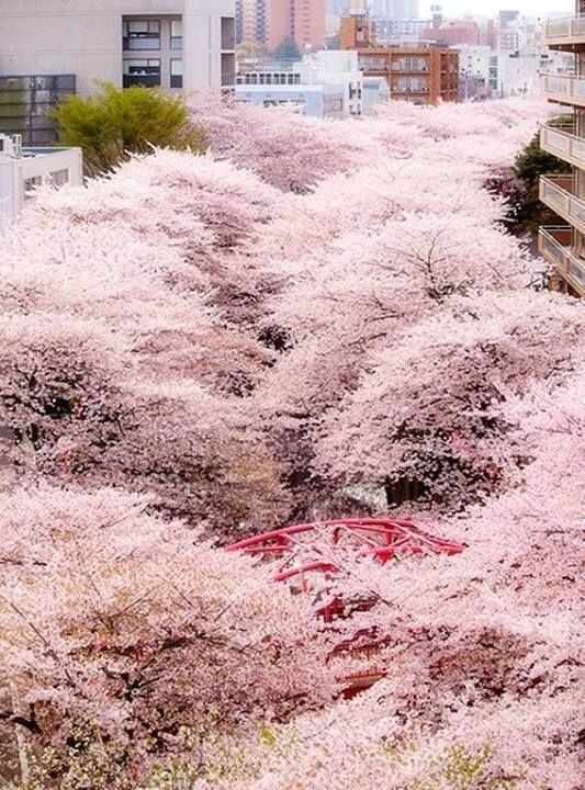 Vários pés de sakura (cerejeira) no Japão em época de floração da espécie.