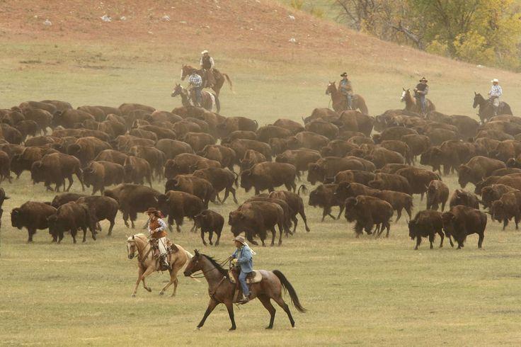 51 st Annual Custer South Dakota State Park Buffalo Roundup. Amazing, really enjoyed it!