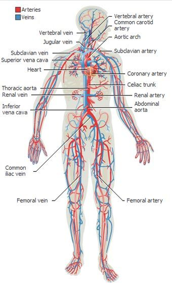 anatomy of the human body | top 10 body systems – human anatomy, Muscles