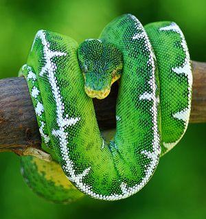 emerald tree boa. The most beautiful beast