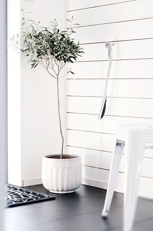 Olive tree in living room - Design