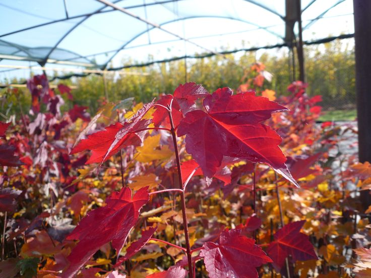 #Acer rubrum - le #foglie rosse di questo #Acero sono meravigliose | Red #Maple - these red #leaves are amazong | Rot-Ahorn - diese rote Blätter sind wunderbar | Rode #esdoorn |
