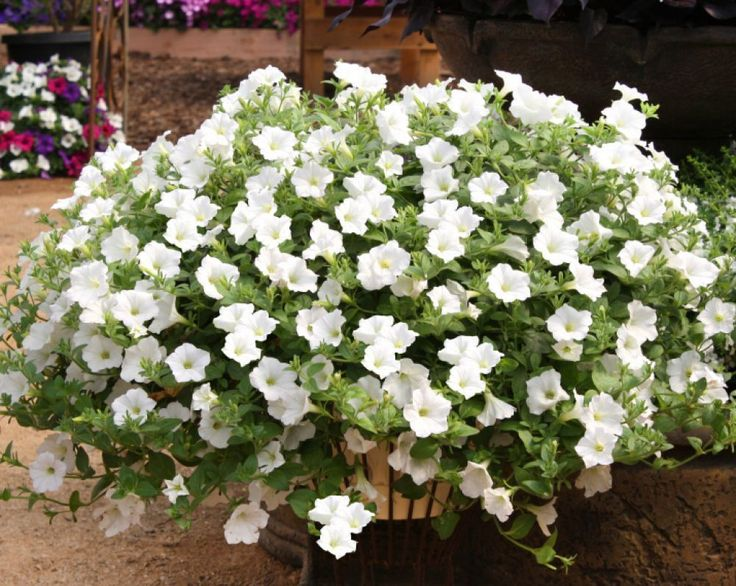 TRAILING PETUNIA FLOWER WHITE (5000 SEEDS). Petunia is originated from South American. Your success is our success. Some location may take longer. | eBay!