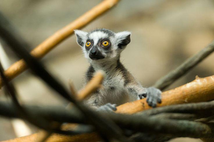 File:Lemur Baby Peeking Up (21981859526).jpg