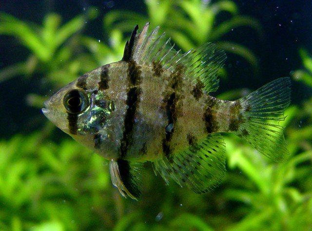 Blackbanded Sunfish : Blackbanded Sunfish Enneacanthus chaetodon