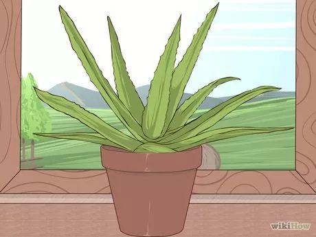 Image intitulée Grow and Use Aloe Vera for Medicinal Purposes Step 3