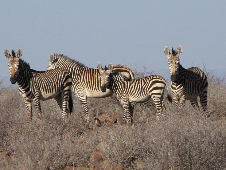 Zebra on the Grootberg Plateau