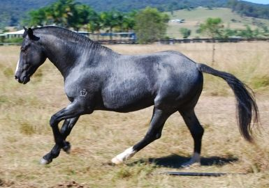 Breed of horse used. Heavy? Stallion of the Moment: Out Of The Blue - Australia's Unique Waler - Horsezone Mobile