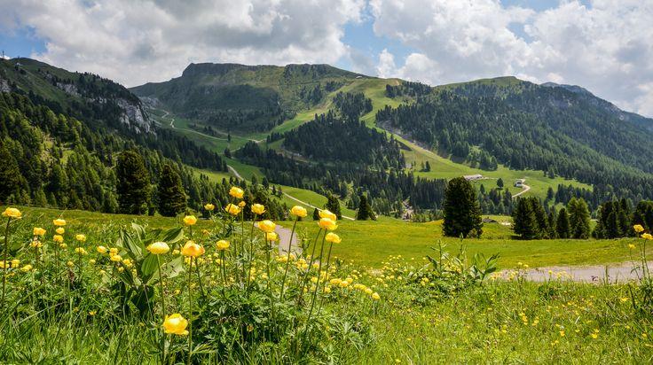 Trentino Alto-Adige  Altopiano di Pampeago - un tappeto giallo