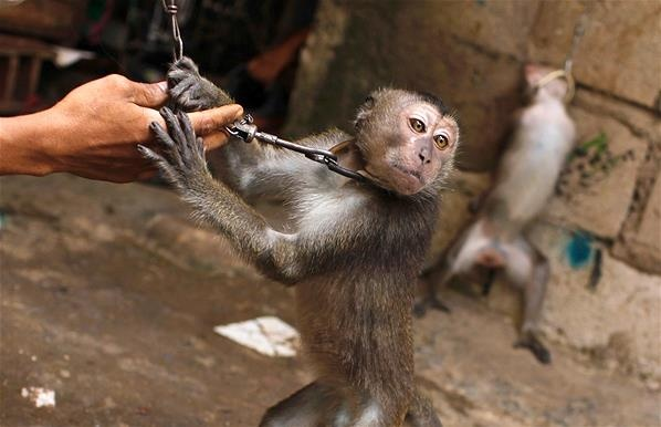 Balada Monyet di Kehidupan Manusia