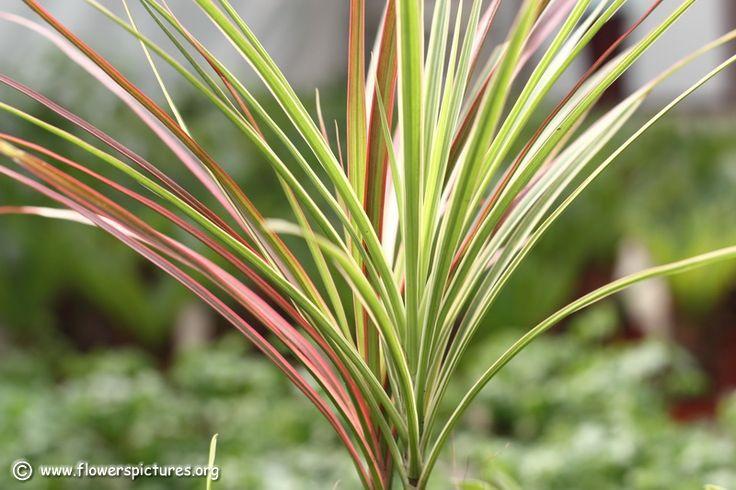 25+ Beautiful Dracaena Plant Ideas On Pinterest