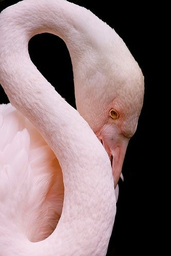 Greater Flamingo | by rogersmithpix