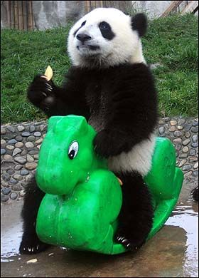 Panda playing in the Chengdu Panda breeding research base in China's Sichuan province. I've been here!