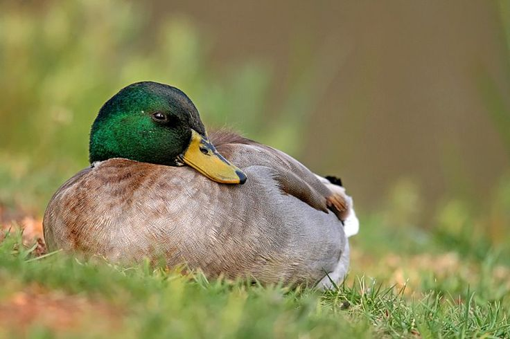 An amazing photograph of a Mallard duck sleeping on the grass. This introduced duck is establishing growing populations in and around Johannesburg and Cape Town. – News Watch