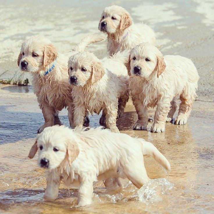 Buy or sell puppies online at https://www.dogspuppiesforsale.com Golden pups