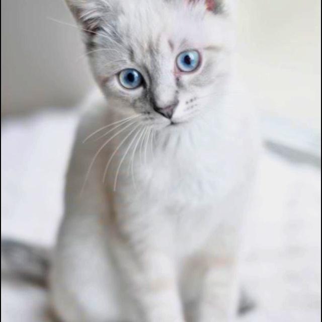 Himalayan Cat For Sale Manila