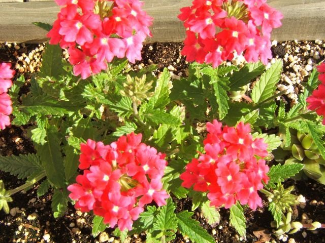 Trailing Verbena ia a Great Plant for Hanging Baskets / Sensible Gardening