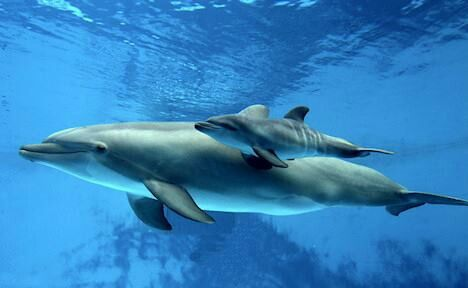 #mother #dolphin with baby
