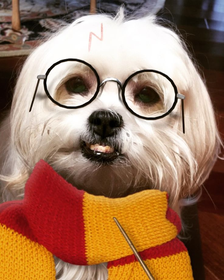 Hogwarts newest Hairy Wizard! ⚡️ #maltese #snapchat #harrypotter #maltichin…
