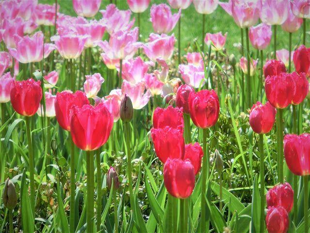 WWW Wiersze Wycieczki Wspomnienia: Tulipany na krakowskich Plantach