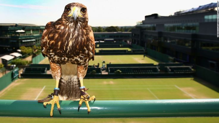Wimbledon: Why Rufus the Hawk rules the roost on Centre Court