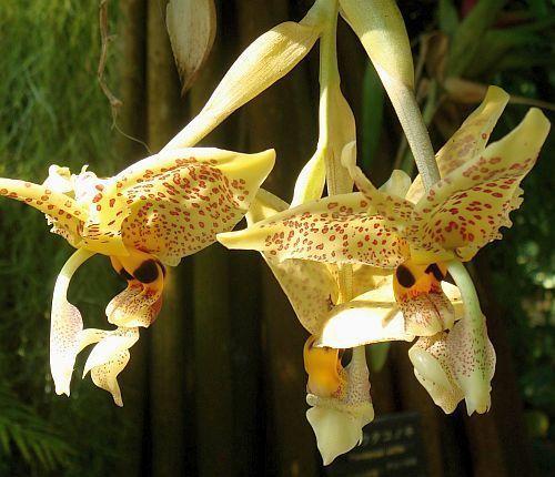 Stanhopea graveolens orchidées graines