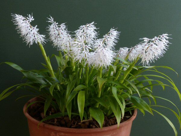 Ypsilandra thibetica Award: AM (Award of Merit) Origin: China Shown by: Diane Clement The committee also recommended that this plant be considered for an AGM.
