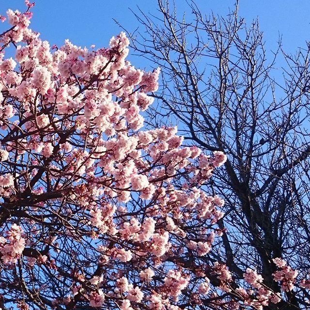 【kitsuchinzihun】さんのInstagramをピンしています。 《寒いですね ❄冷たい風が吹いています。辺りは冬枯れの木。アララ…この寒さの中、寒桜🌺を見つけました。一本ですが沢山の花を付け、青空に映えていましたよ🎵 #桜 #寒桜 #綺麗#寒い #冷たい #風邪に気をつけてね #大雪の地方の方気をつけて下さいね  2017.01.23》