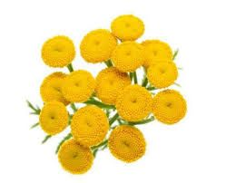 Tansy is known to repel flies