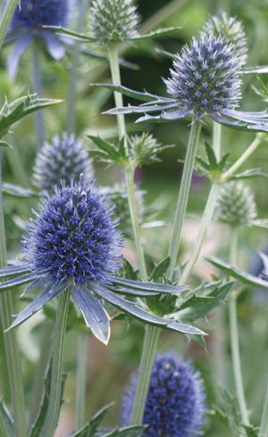 Eryngium Blue Sea Holly or Sapphire Blue: tolerate stress and provide long lasting impact.  thrives in warmer, dry regions, versatile