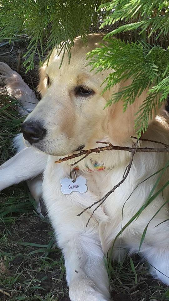 goldenretriever #love #puppy