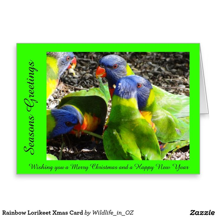 Rainbow Lorikeet Xmas Card - Australian Wildlife. Click on photo to view item then click on item to see how to purchase that item. #christmascard #xmascard #lorikeet #rainbowlorikeet #wildlife #australianwildlife #zazzle